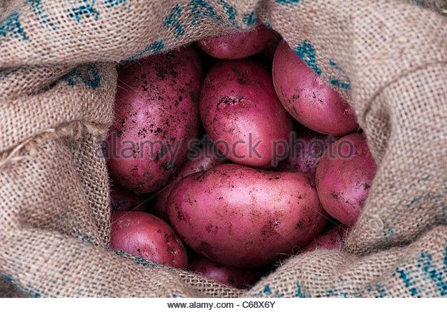 Solanum tuberosum Amorosa. Storing Red Potato Amorosa in a sack - Stock Image