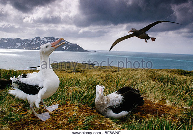 Wandering albatrosses, Diomedea exulans, South Georgia Island - Stock Image