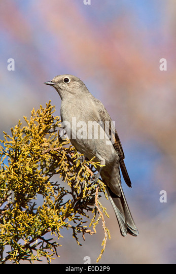 Townsend's Solitaire Myadestes townsendi near Silver City, New Mexico, United States 10 January Adult Turdidae - Stock Image