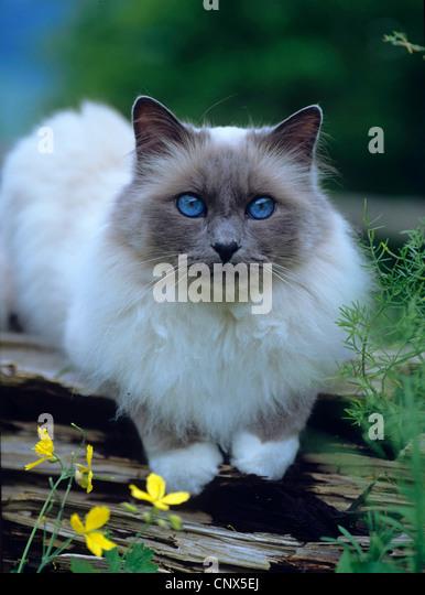 Sacred Cat of Birma, Birman (Felis silvestris f. catus), lying on wood - Stock Image