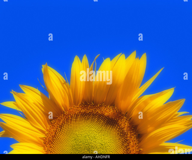 FR - PROVENCE:  Sunflower (lat. helianthus) - Stock Image