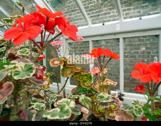 Variegated leaf geranium stock photos variegated leaf geranium stock images alamy - Overwintering geraniums tips ...