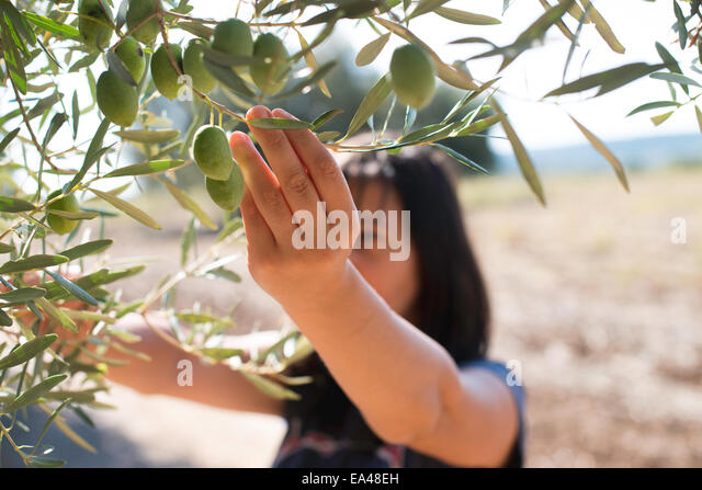 Picking olives.Woman holding olive branch - Stock-Bilder