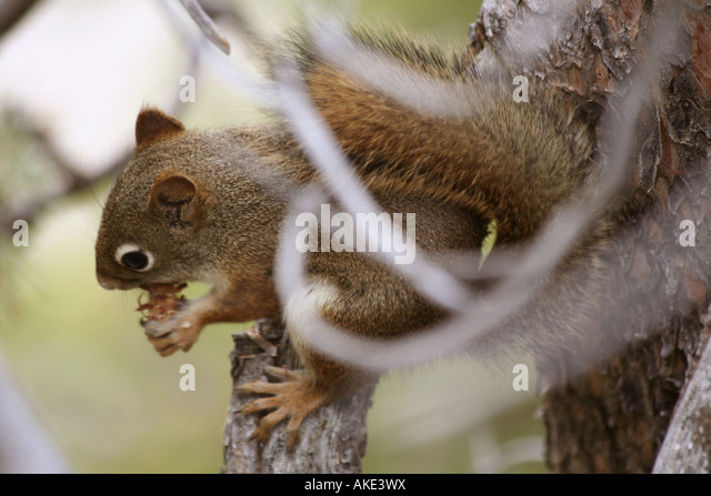 Squirrel eating pine cone, Uncle Tom's Trail, Yellowstone National Park - Stock Image