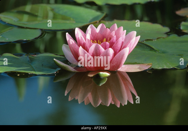 Water lily flower Nymphaea Attraction reflected in pond - Stock-Bilder