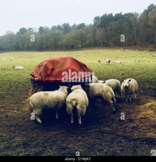 Sheep in a field - Stock Image