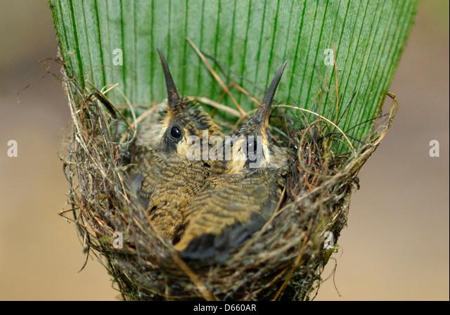 Long-tailed Hermit hummingbird chicks (Phaethornis longirostris) in the nest - Stock-Bilder