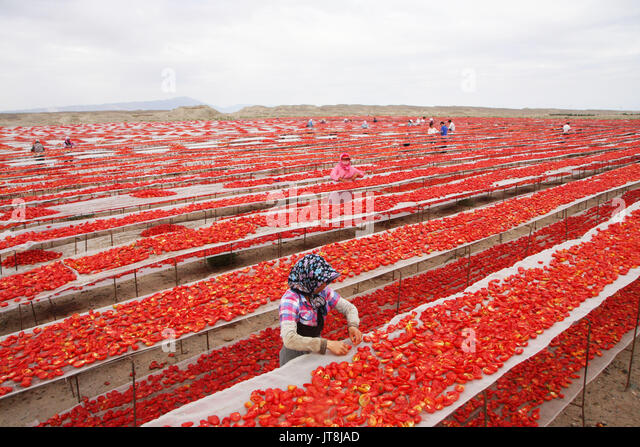 Bayingol. 8th Aug, 2017. Workers dry tomatoes in Bayingol Mongolian Autonomous Prefecture of northwest China's - Stock Image