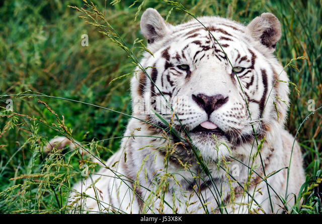 Arkansas Eureka Springs Turpentine Creek Wildlife Refuge rescuing exotic wild cats open habitat cage white tiger - Stock Image