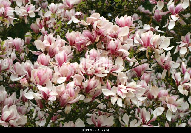 magnolia soulangeana stock photos magnolia soulangeana. Black Bedroom Furniture Sets. Home Design Ideas