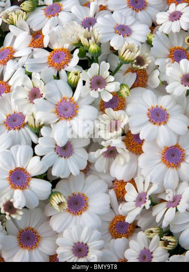 Close up of Cineraria flowers. Al's Nursery. Oregon - Stock Image