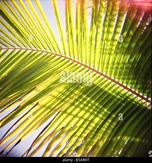 Green palm leaves captured against the sky with sunlight streaming through Jambiani Zanzibar Tanzania East Africa - Stock Image