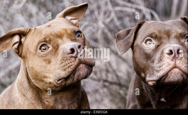 Two brown pitbulls looking up, anticipation, focus - Stock Image