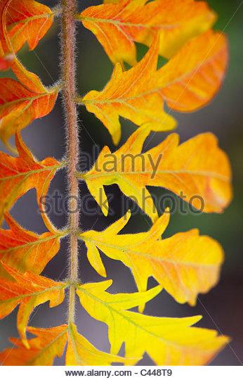 Rhus Typhina bailtiger 'tiger eyes'. Autumn leaf colour close up - Stock Image