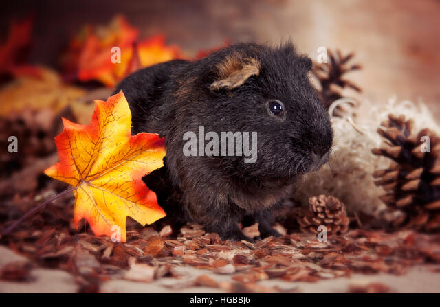 Guinea pig with autumn decoration - Stock Image