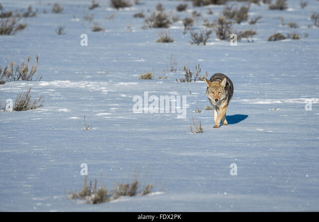 Coyote walking across the snow - Stock Image