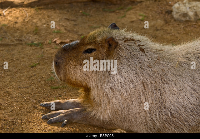 Capybara full body profile of the world's largest rodent at San Antonio Zoo Texas - Stock Image