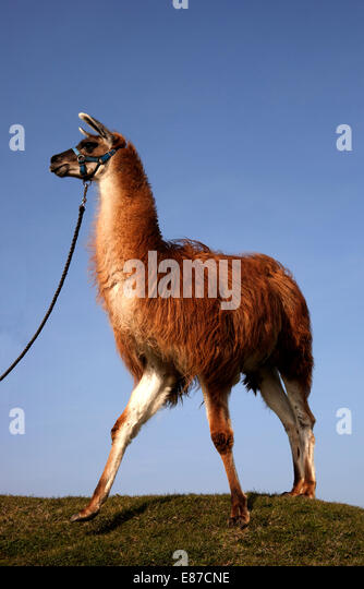 Red Llama against blue sky on lead - Stock Image