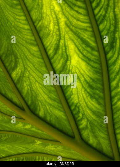 Macro shot of plant leaf. Sunlight shining through a plant leaf, showing detailed, intricate patterns and structure. - Stock Image