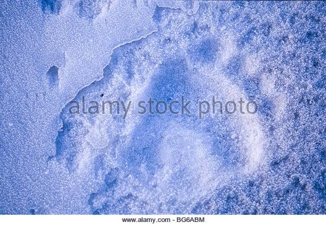 Alaska. Print of brown bear (Ursus arctos) print in snow. - Stock Image