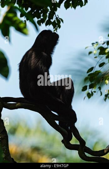 Captive Agile Gibbon (Hylobates agilis) at Singapore Zoo - Stock-Bilder