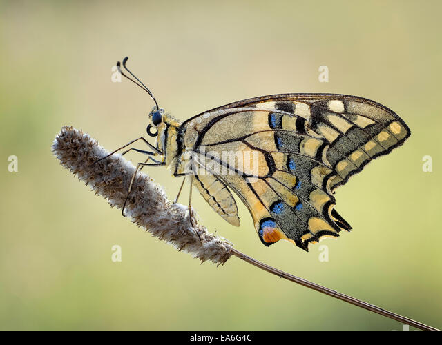 Macro shot of machaon butterfly (Papilio machaon) - Stock Image