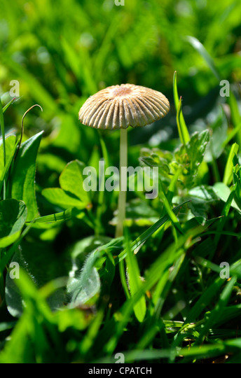 Fairy parasol fungi growing in a grassy meadow - Stock Image