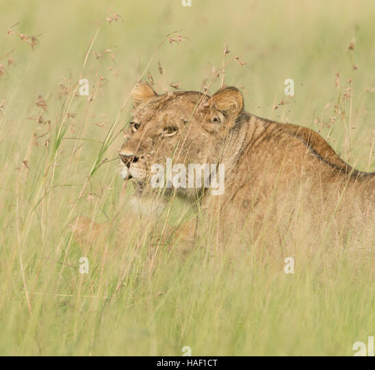 Lion in Tall Grass Serengeti National Park - Stock Image