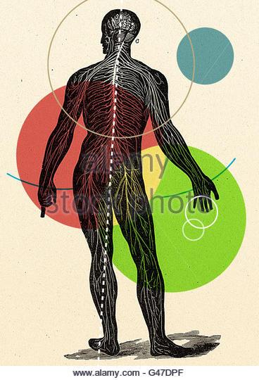 retro medical diagram illustration of human figure man woman veins anatomy anatomical - Stock Image