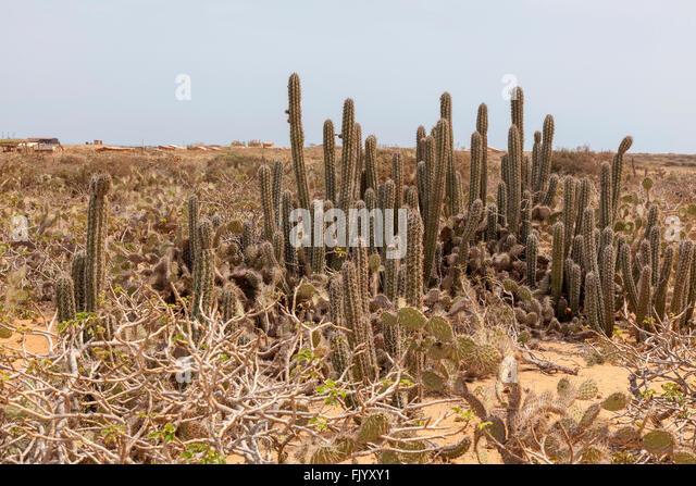 Cactus wilderness, La Guajira Colombia - Stock Image