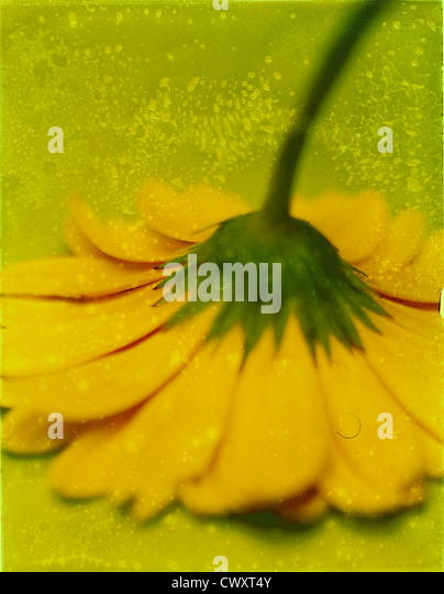 Yellow gerber (gerbera) upside down. Photo Illustration from polaroid transfer. ©mak - Stock Image