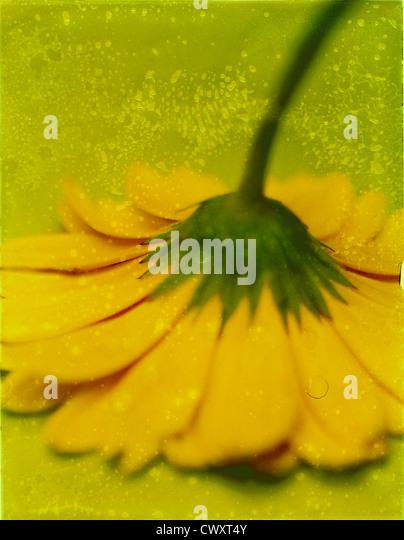 Yellow gerber (gerbera) upside down. Photo Illustration from polaroid transfer. ©mak - Stock Image
