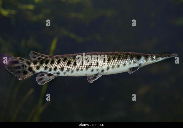 spotted gar (Lepisosteus oculatus), swimming - Stock Image