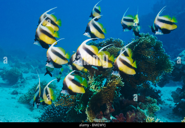 Red Sea bannerfish.  Egypt, Red Sea. - Stock Image