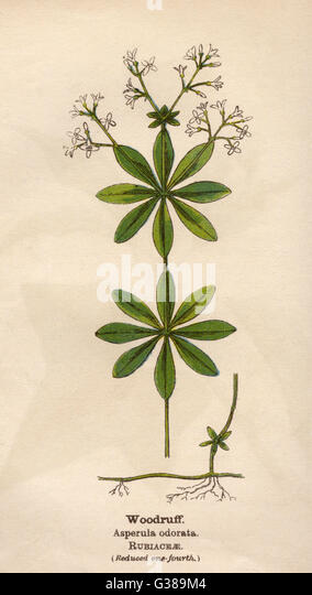 WOODRUFF         Date: early 20th century - Stock Image