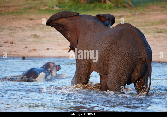 angry elephant chasing hippopotamus out of a waterhole, Kruger National Park, South Africa - Stock-Bilder