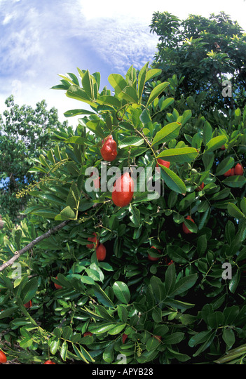 Jamaica Caribbean West Indies Ackee Fruit Red Ripe - Stock Image