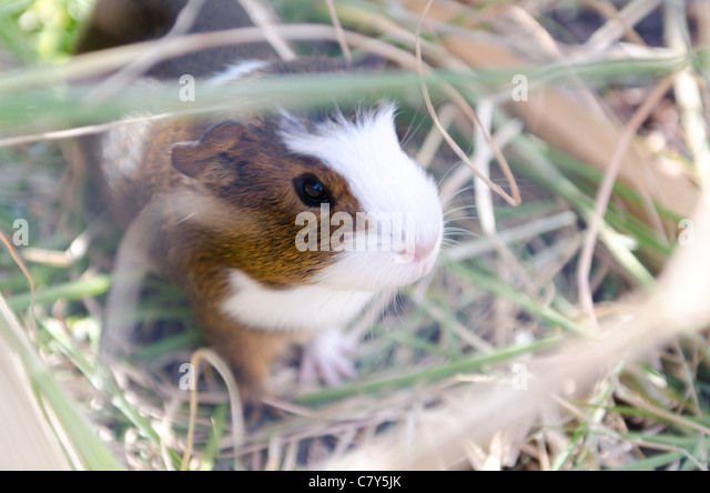 guinea pig in the hay - Stock Image