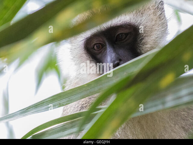 Vervet monkey sitting in a tree and peaking through the leaves, Ukunda, Kenya, Africa - Stock Image