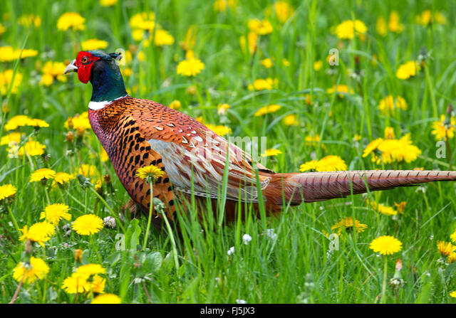 common pheasant, Caucasus Pheasant, Caucasian Pheasant (Phasianus colchicus), male in a meadow with blooming dandelion, - Stock Image