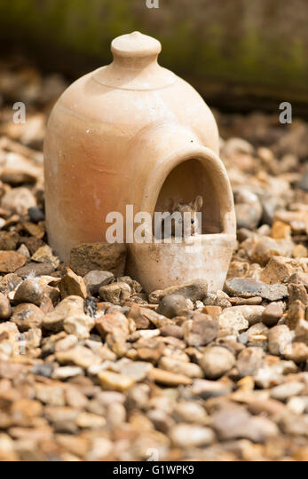 Mouse (Mus Musculus) head view, peering out from inside terracotta clay bird water dispenser, on gravel, front view, - Stock Image