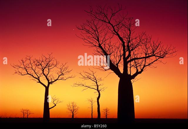 Boab trees at sunset, outback Australia - Stock-Bilder