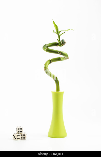 Single Lucky Bamboo with three Dice - Stock Image