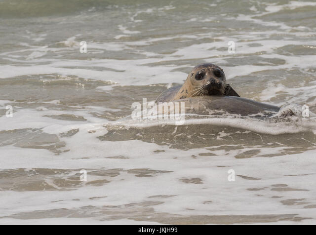 Seal in The Surf Looks at Camera as it approaches shore - Stock Image