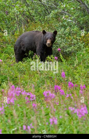 A Black Bear searches for soap berries along the Tatshenshini River, Tatshenshini-Alsek Wilderness, Yukon Territory, - Stock Image