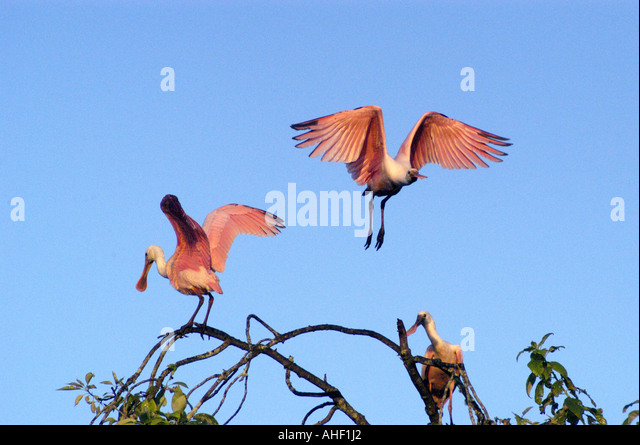 Roseate spoonbill flapping wings - Stock Image