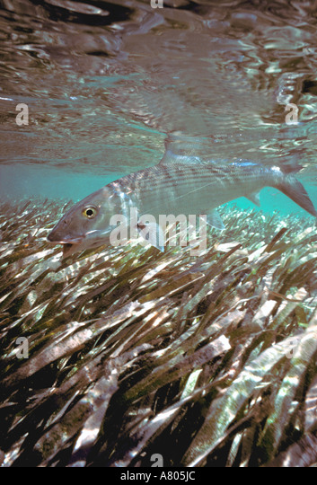 Bonefish underwater swimming over eel grass shallow saltwater gamefish silver scales - Stock Image