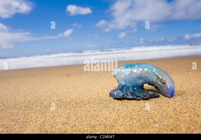 Stranded Portuguese Man o'War on the beach in Las Canteras Beach, Gran Canaria, Spain. - Stock Image