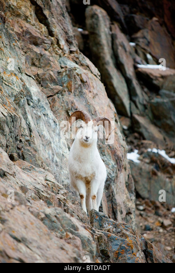 A curious full-curled Dall Sheep ram perches on a rocky ledge, Chugach State Park, Alaska - Stock Image