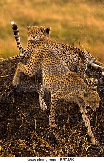 Cheetahs on mound Masai Mara National Reserve Kenya - Stock Image